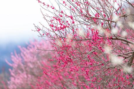 神奈川県の湯河原梅林の梅の花の写真素材 [FYI04103524]