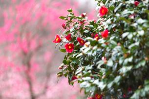 神奈川県の湯河原梅林の椿の花の写真素材 [FYI04103526]