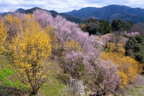 西吉野の花風景の写真素材 [FYI04103532]