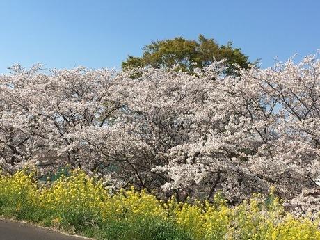 桜の写真素材 [FYI04103701]