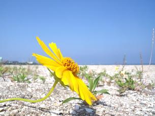 真夏の砂浜に咲く黄色い花の写真素材 [FYI04103723]