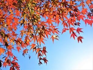 赤く輝く紅葉の季節の写真素材 [FYI04103754]