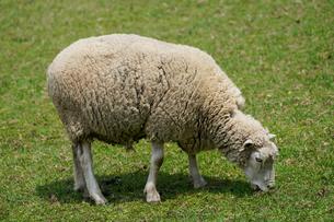 羊の写真素材 [FYI04103769]