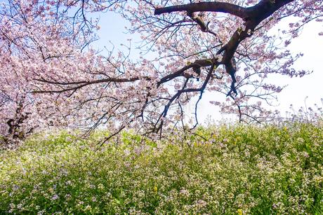 玉堤の桜並木の写真素材 [FYI04103778]