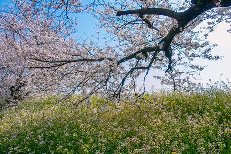 多摩川土手の桜並木の写真素材 [FYI04103779]