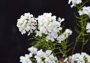 白い花2の写真素材 [FYI04104185]