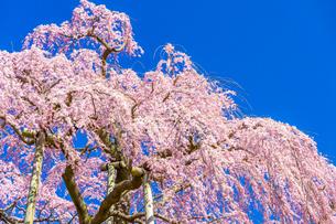 滝桜の写真素材 [FYI04104188]