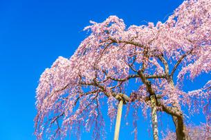 滝桜の写真素材 [FYI04104189]