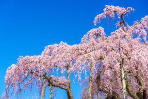 滝桜の写真素材 [FYI04104191]