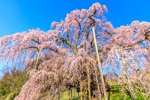 滝桜の写真素材 [FYI04104212]