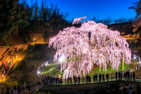 滝桜の写真素材 [FYI04104236]