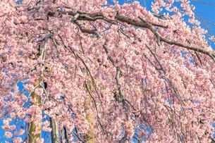 滝桜の写真素材 [FYI04104276]