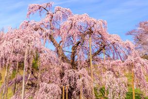 滝桜の写真素材 [FYI04104280]