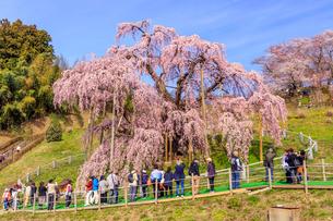 滝桜の写真素材 [FYI04104281]