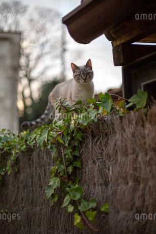垣根の上を歩く猫の写真素材 [FYI04104868]
