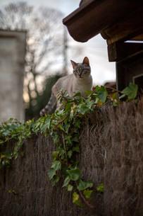 垣根の上を歩く可愛い猫の写真素材 [FYI04104869]