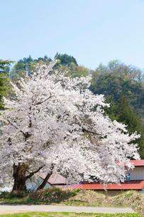 桜の木  福島の写真素材 [FYI04104885]