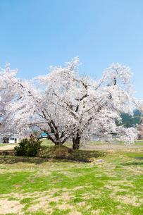 桜の木  福島の写真素材 [FYI04104886]