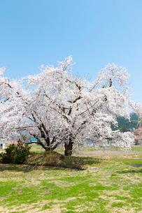 桜の木  福島の写真素材 [FYI04104887]