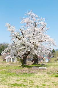 桜の木  福島の写真素材 [FYI04104888]