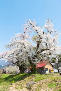 桜の木  福島の写真素材 [FYI04104889]