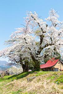 桜の木  福島の写真素材 [FYI04104890]