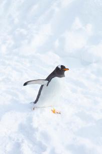 お散歩するジェンツーペンギンの写真素材 [FYI04104896]