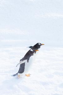 お散歩するジェンツーペンギンの写真素材 [FYI04104902]