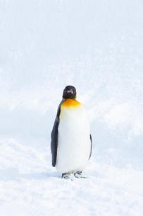 お散歩中のキングペンギンの写真素材 [FYI04104903]