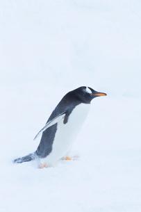 お散歩するジェンツーペンギンの写真素材 [FYI04104906]