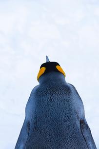お散歩するキングペンギンの背中の写真素材 [FYI04104908]
