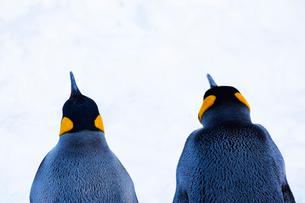 お散歩するキングペンギンの背中の写真素材 [FYI04104909]