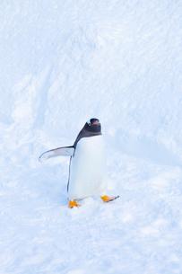 お散歩するジェンツーペンギンの写真素材 [FYI04104920]