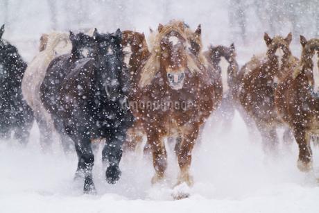 冬の馬の写真素材 [FYI04104947]