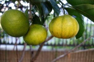 日本の緑の蜜柑の写真素材 [FYI04105078]