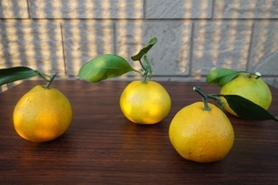 テーブルの上の蜜柑の写真素材 [FYI04105110]