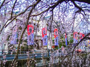 熱海温泉、熱海芸妓連歌舞練場前の枝垂れ桜の写真素材 [FYI04105143]