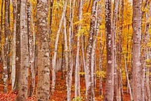 秋色に染まる十日町の美人林の写真素材 [FYI04105162]