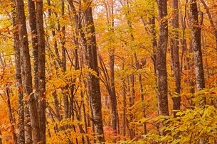 秋色に染まる森の写真素材 [FYI04105213]