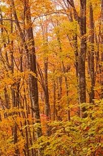 秋色に染まる森の写真素材 [FYI04105214]