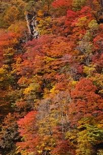 秋色に染まる森の写真素材 [FYI04105216]