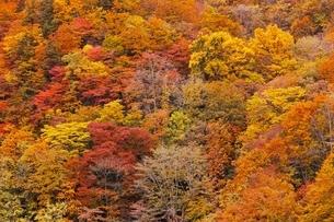 秋色に染まる森の写真素材 [FYI04105217]