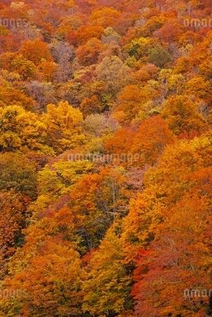 秋色に染まる森の写真素材 [FYI04105218]