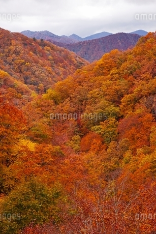 秋色に染まる森の写真素材 [FYI04105220]