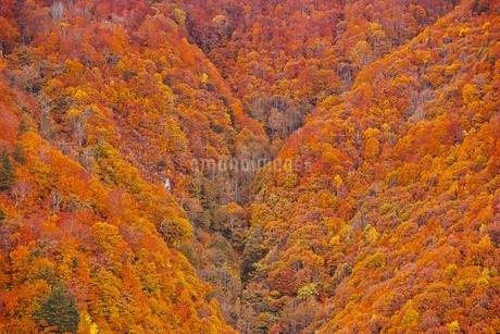 秋色に染まる森の写真素材 [FYI04105222]