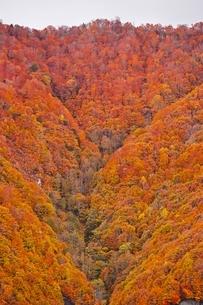 秋色に染まる森の写真素材 [FYI04105223]