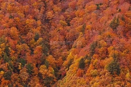 秋色に染まる森の写真素材 [FYI04105224]