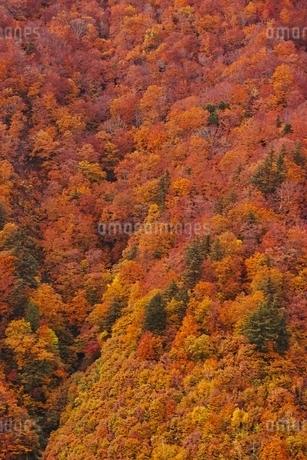 秋色に染まる森の写真素材 [FYI04105225]