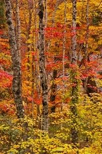 秋色に染まる森の写真素材 [FYI04105227]