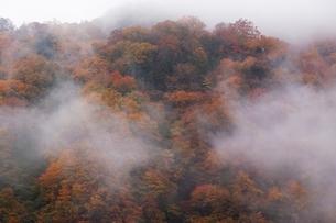 霧にかすむ秋の森の写真素材 [FYI04105228]